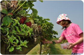 Strawberry picking in a field in Suffolk